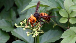 スズメバチの精力効果